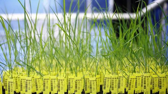 يوم حزين للعلوم في اسكتلندا بسبب حظر زراعة المحاصيل التجارية المهندسة وراثيًا