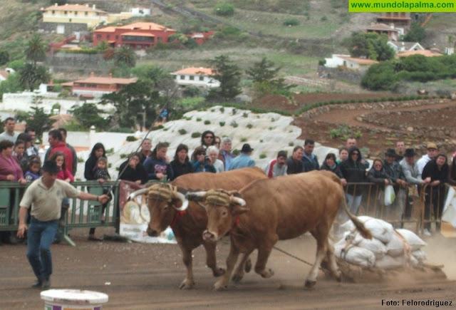 El Gobierno de Canarias apoya los concursos de arrastre de ganado con una subvención de 100.000 euros