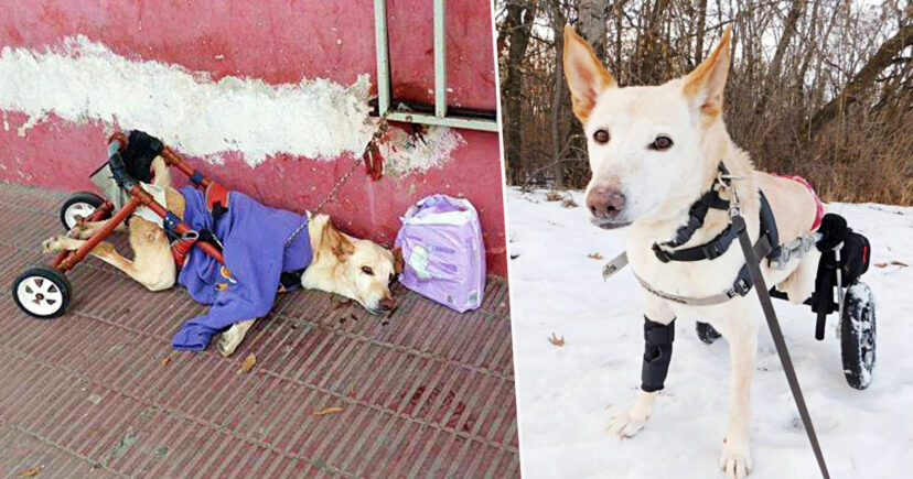Paralyzed Dog Got Dumped On Street With Broken Wheelchair And Diapers