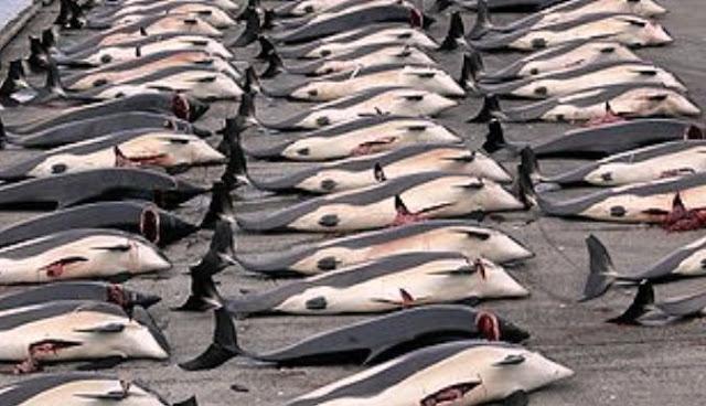 Tradisi Sadis Pembantaian Ikan Paus Di Gulfstream