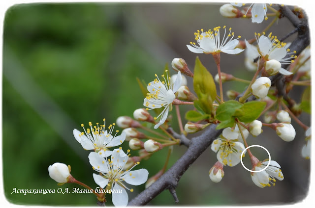 cvetolozhe-slivy-gipantij