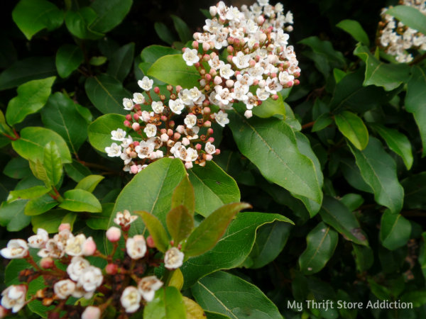 Signs of Spring at Secret Garden Herbs mythriftstoreaddiction.blogspot.com  Pale pink blooms of viburnum