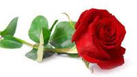 Bunga mawar obat batuk tradisional/alami