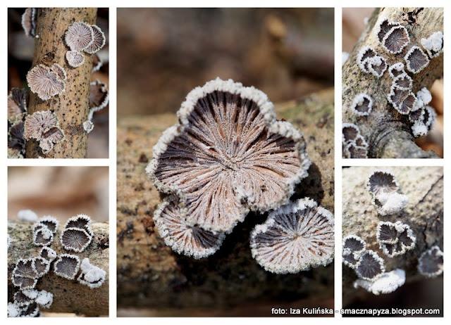 grzyby nadrzewne, nadrzewniaki, grzyb jak kwiatek, jak muszelka, male grzybki