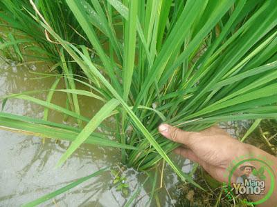 Tanaman padi mekongga umur 25 HST