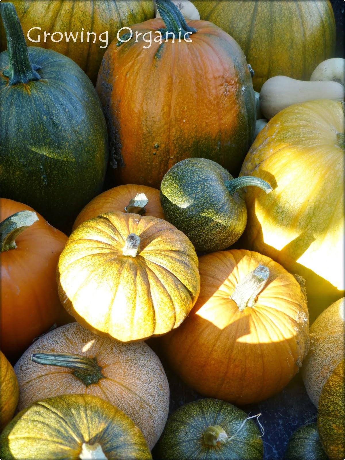 Growing Organic : Pie Pumpkins or Sugar Pumpkins