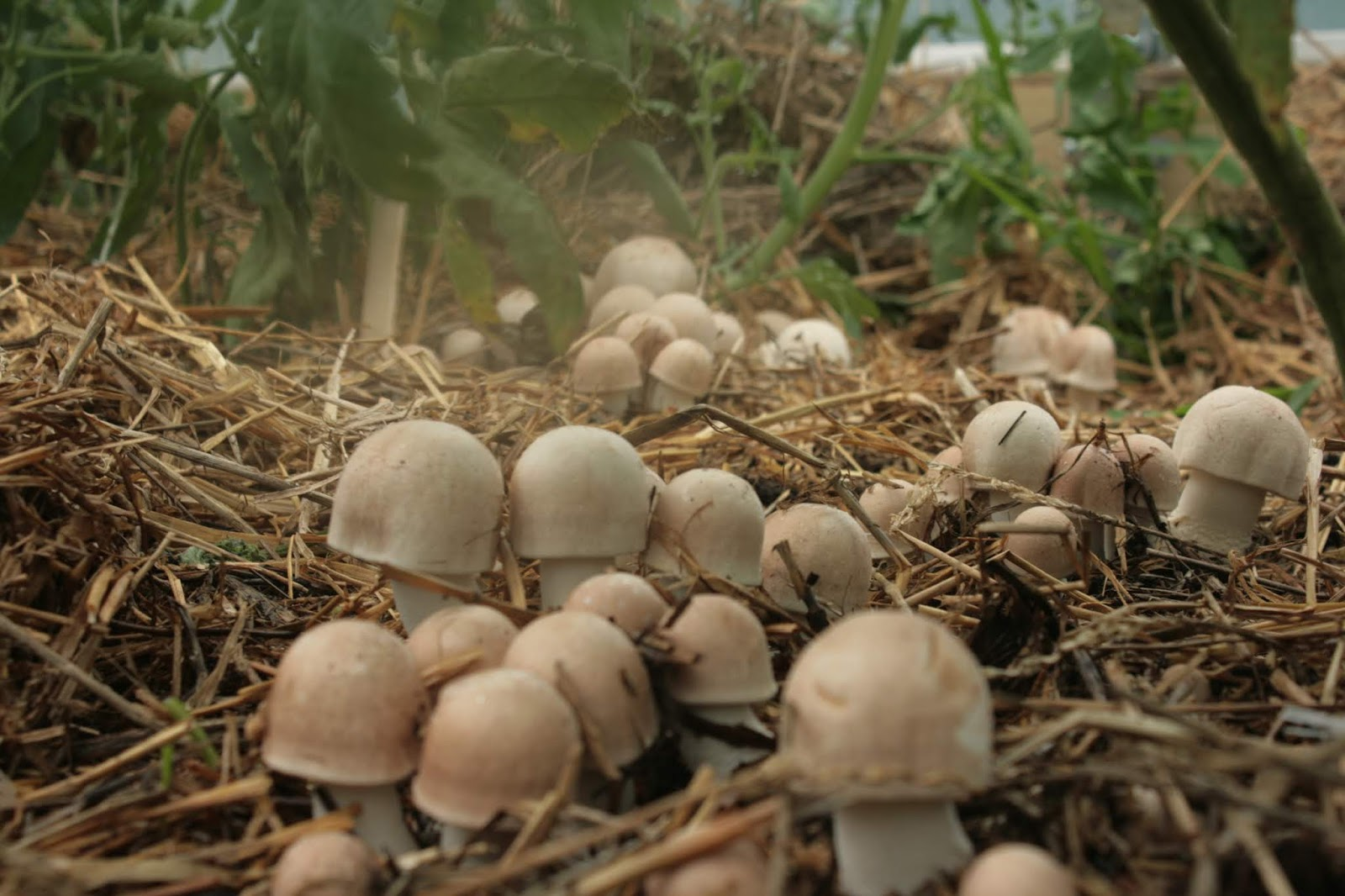 Mushrooming Together: The ABC's of Almond Agaricus: A Warm Weather