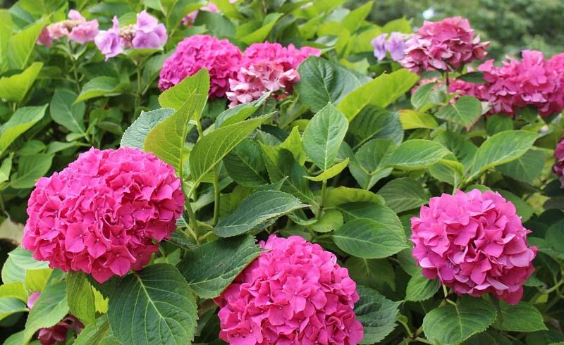 Gardens, Hydrangeas, Pots