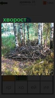 около берез в лесу на поляне собран хворост