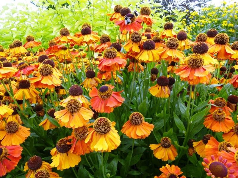 flores color naranja de helenium