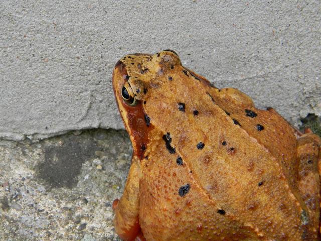 żaba trawna z bliska