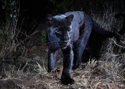 Africa's Black Panthers Emerge From a Century in the Shadows