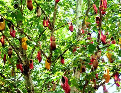 Árvore dos tamancos - SP
