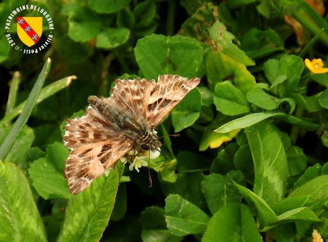 Grisette (Carchoradus alceae)