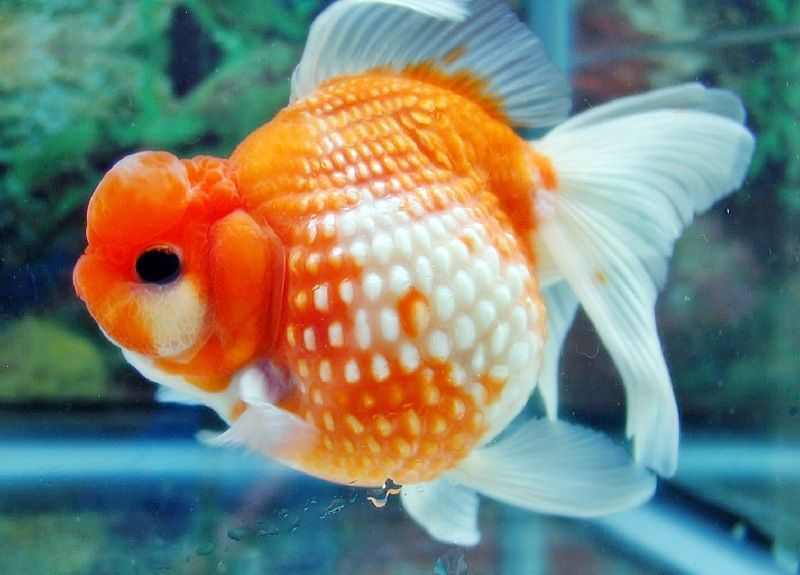 ikan mas koki termahal