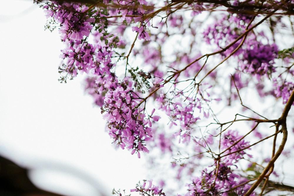 45+ Hình Ảnh Hoa Phượng Tím Đà Lạt Dịu Dàng Đẹp Nhất Vào Tháng 3