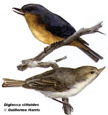 Payador canela Diglossa sittoides