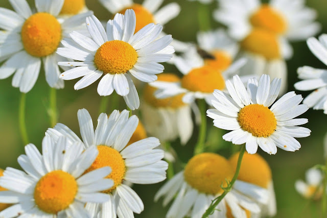 chamomile essential tea is very effective in helping the digestive system such as treating indigestion and flatulence