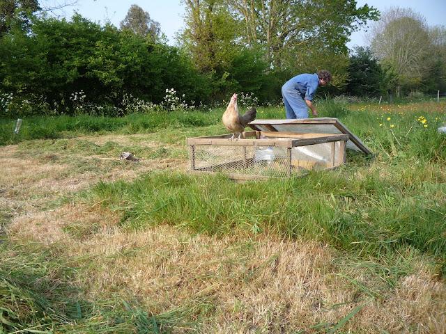 Set up for free-ranging organic quail chicks