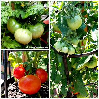 Container Garden tomatoes