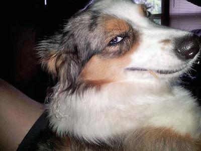 Lachender Hund mit Zahnstocher im Mund lustig