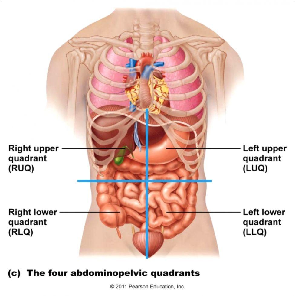lower abdominal diagram male wiring diagram third level [ 975 x 979 Pixel ]