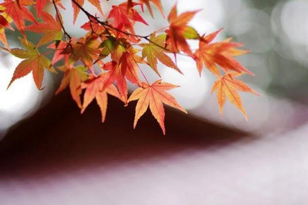 台灣賞楓秘境-福壽山農場,不用飛日本也能看到絕美楓紅!