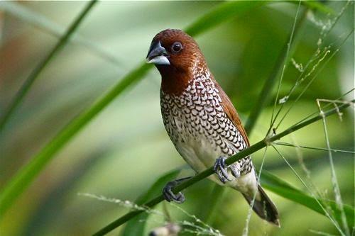 Burung Bondol Peking Info Pendidikan Dan Biologi
