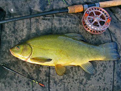 Tench caught using the Lift Method with a Centrepin reel