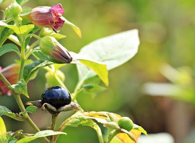 klasifikasi tumbuhan belladonna, atropa belladonna, tumbuhan beracun di indonesia, pohon upas, racun mematikan di sekitar kita, bunga apakah yang bisa membuat orang mati jika ada di bawah bunga tersebut, buah beracun di hutan,