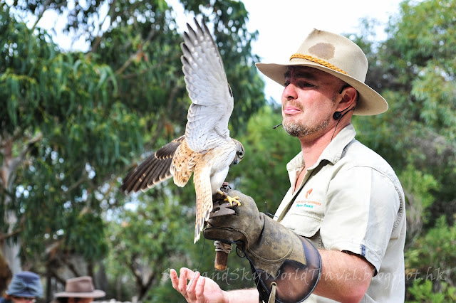 袋鼠島獵鷹表演