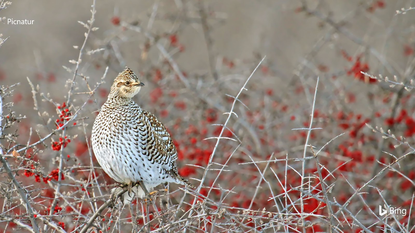 Sharp-tailed grouse SaskGrouse