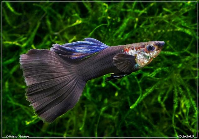 Macam Jenis Ikan Guppy dan 39 Ikan Saudara terdekatnya