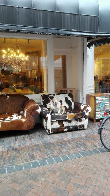 Bulldog zit op bank van koeienhuid - mooi plaatje