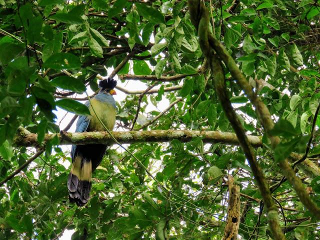 Blue turaco bird in Bigodi Wetlands in Western Uganda