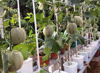How To Plant Watermelon