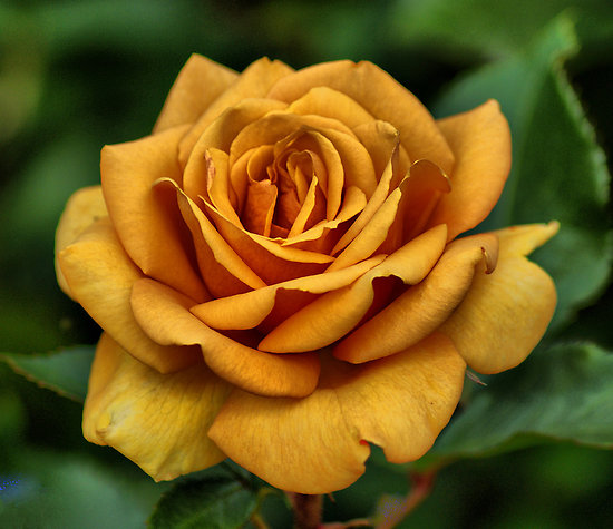 Golden-Rose-Rich-Color-51 (16) - Beautyill