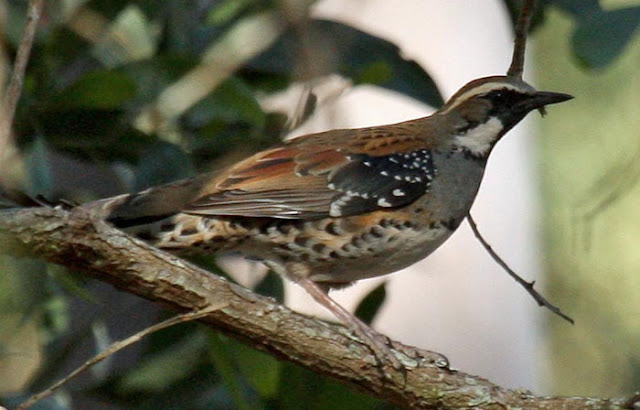 Anis-puyuh ajax, Painted Quail-thrush, Cinclosoma ajax
