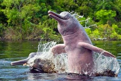 Boto-cor-de-rosa, boto, golfinho de água doce, Pink River, Dolphin boutu bufeo, natureza e conservação, natureza, nature, animais, animals