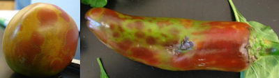 A composite photo of fruit infected with virus. The photo on the left is a tomato exhibiting uneven ripening (yellow and red areas intermingled) and the photo on the right is a chile pepper with green and red coloring.