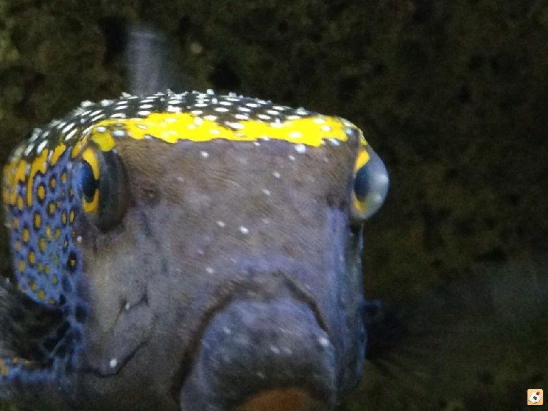 Gambar Ciri Ciri Ikan Hias sakit Atau Stres-Ikan Buntal Sakit White Spot