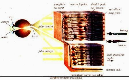 Sistem Indra Pada Manusia