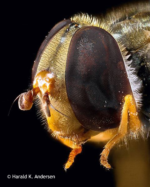 Harald K. Andersen image of marmalade hoverfly in 100 image stack.