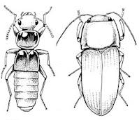 Ordo Coleoptera