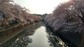 Ooka River Promenade hanami