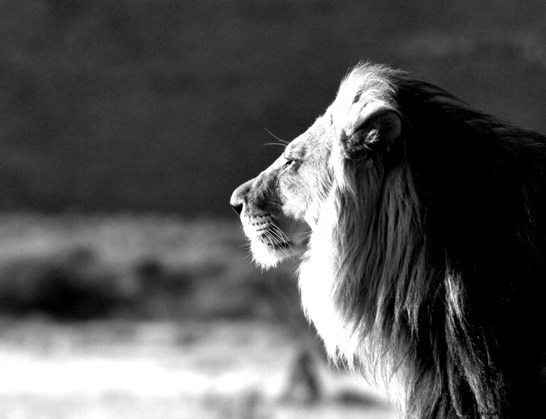 Black White Lion King Wallpaper Wallpapers Quality