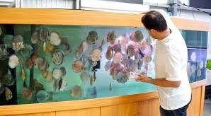 Profil Ikan Hias Diskus pakan ikan