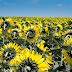 Mengapa bunga matahari selalu menghadap matahari ?