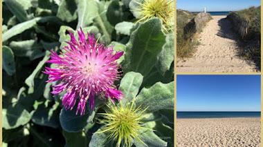 Flora costera: Centaurea seridis en la Albufera de Valencia