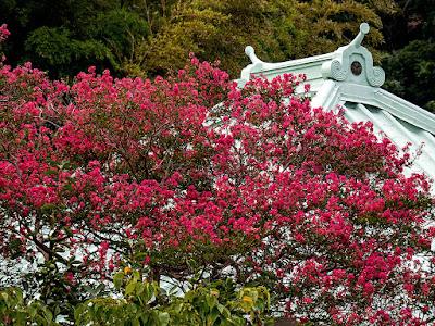 Sarusuberi (Crape myrtle) flowers: Eisho-ji